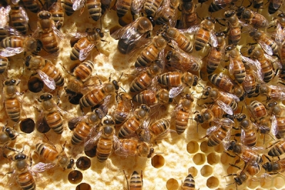 Explosion in Urban Beekeeping Raises Concerns for Honeybee Population