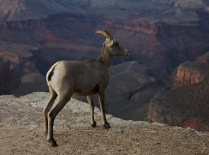 Blog: A Bighorn Sheep and Ranger Meet