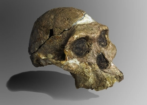 The original complete skull (without upper teeth and mandible) of a 2.1 million year old Australopithecus africanus specimen so-called Mrs. Ples, discovered in South Africa. Collection of the Transvaal Museum, Northern Flagship Institute, Pretoria, South Africa. (catalogue number STS 5, Sterkfontein cave, hominid fossil number 5).