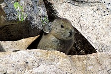 The West's Pika Plight Captivates Middle Schoolers' Scientific Minds